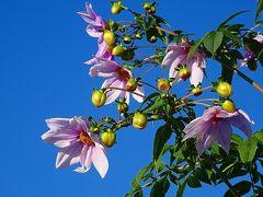 伊丹市東野地区へ、桜と蝋梅を探して徘徊 その1。