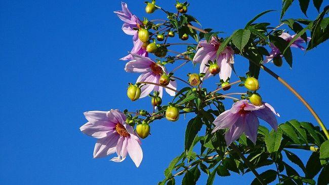 日米友好の桜は、伊丹市東野の苗木で育ったものが、瑞ヶ池公園に里帰りしていますが、開花は4月の初めになります。<br /><br />伊丹市のページ・・・http://www.city.itami.lg.jp/shokai/gaiyorekishibunka/bunka/1392292474530.html<br />ワシントンDCのポトマック桜の旅行記・・・https://4travel.jp/travelogue/10768878<br />伊丹市に里帰りしたポトマック桜の旅行記・・・https://4travel.jp/travelogue/10998691<br /><br /><br />東野地区では、年の暮れには十月桜がまだ咲き続けていました。<br />今日は、青空の下で咲く桜花と蝋梅を、東野地区へ見せてもらいに出かけました。<br /><br />蝋梅の咲く苗圃で、ご主人が作業していたので、撮影の許可をしてもらったら、咲き始めの枝を切ってくれ、家に持ち帰って咲かせてと云われました。<br />有難うございます、今は我が家のテーブルの上で可憐な黄色い色が映えています。<br /><br />写真は、行く途中の天神川沿いの堤防に咲く皇帝ダリアの花。