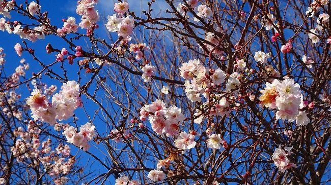 その1からの続きです。<br /><br />途中で、荻野バス停から東野バス停まで、たまたま市バスが来たので、乗りました。<br /><br />写真は、東野地区の苗穂に咲く十月桜。
