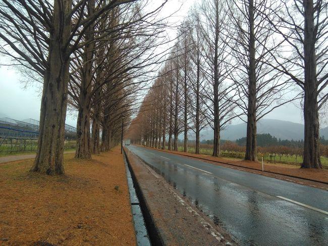 青春18切符を使って、ちょこっと旅行。滋賀マキノ高原。メタセコイヤ並木を見に行ってきたよ。
