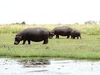 南部アフリカの旅�_チョベ国立公園にゲームドライブに