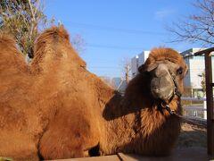 モロッコまで行かなくても駱駝に乗れる神戸どうぶつ王国