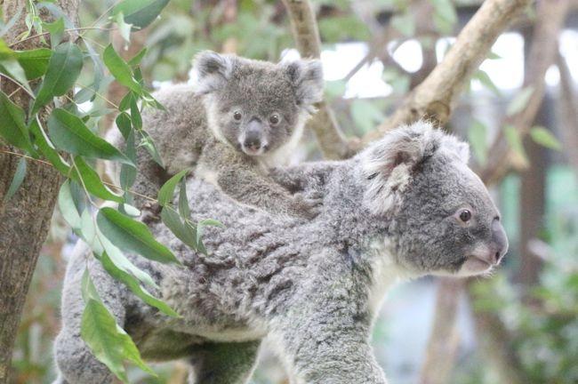 新春2020年、我が地元の埼玉こども動物自然公園(略して「埼玉ズー」)再訪の幕開けです!<br />今年もできるだけ月一以上の頻度で訪れたいと思います。<br />なにしろ、今年もとびっきりの楽しみがありますから。<br />その1つが、コアラのトリプル赤ちゃんの成長を見守ることです!<br /><br />まさかコアラのドリーちゃんにも赤ちゃんが生まれていたなんて思いませんでした!<br />トリプル赤ちゃんは、それぞれ去年2019年の4月5月6月に誕生していて、お母さんのおなかの袋から顔を初めて出した第2の誕生日は、それぞれ10月11月12月です。<br />なので1ヶ月違いの幼なじみとなります。<br />今回はドリーちゃんの赤ちゃんには会えませんでしたが、最初に生まれたクインちゃんの赤ちゃんと次に生まれ他ハニーちゃんの赤ちゃんは、もうお母さんのおなかの袋に入れないくらい成長したので、会える確率がぐんと高くなりました!<br /><br />車でアクセスできる地元の動物園ということで今回もややスロースタートになってしまい、到着した時、レッサーパンダたちは全員昼寝をしていて、活動は11時45分からのトークの前からとなったので、午後編<br />として後編の旅行記にまとめました。<br />レッサーパンダとコアラを除くと、今回の再訪は、他には特に赤ちゃんや新顔はいませんでした。<br />だけど、表敬訪問しておきたい子たちや、会うとけっこう夢中になる子たちが目白押し!<br />コツメカワウソは3頭展示でしたが、起きているといつも面白いし、ヤキやヒツジに赤ちゃんはまだ生まれて居なかったけれど、見ていてなんだか楽しかったし、今回はぴょんぴょん村のウサギたちにけっこうハマりました。<br />おなじみのところでおなじみの動物たちと会うのを重ねると、レア動物でなくても思い入れが募ってくるものだとつくづく思いました。<br /><br />なかよしコーナーでは、那須どうぶつ王国から出張してきているアルパカのモカちゃんは、タイミングが合わず、会えませんでした。<br />那須どうぶつ王国にはアルパカは何頭もいるはずですが、出張してくるのは毎年モカちゃんです。<br />慣れた子の方が移動や出張先で過ごしやすいからかもしれません。<br /><br />豚コレラ防衛のため、なかよしコーナーのミニフタやクビワペッカリーたちが非展示になっていたのは知っていましたが、壁に覆われた向こうにいたことに今回初めて気付きました。<br />これまで近くを通る時、先を急いでいることが多かったので、壁に気付いていなかったようです。<br />ミニブタたちは、ふだん昼間は自由になかよしコーナーを歩き回っているのに、もう何ヶ月も1日中、狭い寝室に閉じ込めらているからか、放し飼いエリアではいつもおとなしいのに、壁の向こうでブーブー文句を言ってさわいでいるのが聞こえました。ストレスがたまっているでしょう。<br />早く豚コレラが終息することを祈らずにはいられません。<br /><br />それからオーストラリアの森林火災についてはほんとに胸が痛みます。<br />森林火災に対して野生動物の救済や復帰のために活動しているZAA(オーストラレーシア動物園水族館協会)への募金の受付は、埼玉ズーでは私の1月の再訪の翌日から開始されました。<br />埼玉ズーのコアラ舎には、オーストラリアのコアラのためのボランティア活動の募金箱が常設されているので、今回はそこに、いつもより奮発しました。<br />それも森林火災に対する活動に役立ててもらえるだろうと思い。<br />同じことを思った人は何人もいたようで、募金箱の中はいつもよりもたくさん寄付金が入っていました。<br />それでもほんとに微力な支援ですが、今回の森林火災の被害動物に対する救済・復帰活動は今後、長期にわたって必要になるはずなので、何回か続けてまた支援したいと思います。<br /><br /><2020年度最初の埼玉こども動物自然公園の旅行記のシリーズ構成><br />■(午前編)コアラのトリプル赤ちゃんに会いたい~エサやりヤギやなかよしコーナーからオーストラリアの鳥まで<br />□(午後編)レッサーパンダ特集&カピバラ温泉からペンギンヒルズやマヌルネコ&動物イルミネーション再び<br /><br />埼玉こども動物自然公園の公式サイト<br />http://www.parks.or.jp/sczoo/<br /><br /><タイムメモ><br />09:45 家を出て車で向かう<br />10:20 第2駐車場に到着<br />10:25 正門から年パスで入園(開園09:30)<br />10:30 