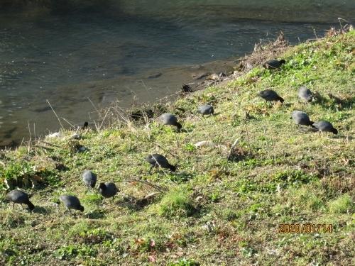 日本一汚い湖沼と言われた手賀沼を綺麗にする為、平成13年(2001年)に北千葉導水路が出来ました。利根川の水を手賀沼に流し込んで綺麗にする為です。平成16年に大堀川で鮭が発見されて以来毎年見る事が出来ました。鮭は 利根川から手賀沼を通り抜け柏市の大堀川まで遡上してこの堰堤の手前で産卵するのでしょう。綺麗になった大堀川には鯉が異常に繁殖していて鮭の卵を食べてしまうそうです。平成最後の31年(2019年)白鳥がやって来ました。手賀沼には白鳥が住み着いているのでそちらからの出張でしょう。今年はバンが異常に多く、常連の鴨が追いやられてしまいました。毎年変化があって楽しく大堀川を散歩しています。<br />オオバンは我孫子市の手賀沼で最も数が多く、一年中見ることができることから、我孫子市を代表する鳥として、昭和63年12月1日に指定されました。<br />
