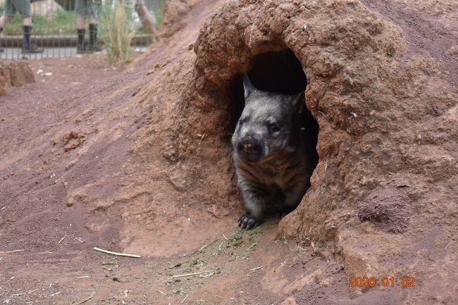 シドニー2日目は孫たちが一番楽しみにしていたフェザーデール動物園とブルーマウンテンズ(無理矢理)に行きました。<br />ニューサウスウエールズ州はコアラが抱っこできません。<br />ですのでコアラが触れるフェザーデール動物園にしました。<br />また1日ほとんど寝ているコアラですが、朝早くだとコアラが起きている確率が高いということで<br />オープンの時間(8:00)に合わせて行くことにしました。<br />フェザーデール動物園に長居しすぎてブルーマウンテンズのシーニックワールドは行けずじまいに終わりました。