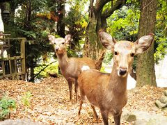 鹿に会いに紅葉真っ盛りの奈良へ。令和元年11月24日