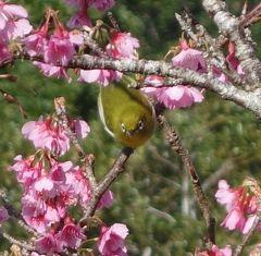 沖縄(2.4) 八重岳でサクラのお花見。満開の木もありました。メジロも楽しそうでした。
