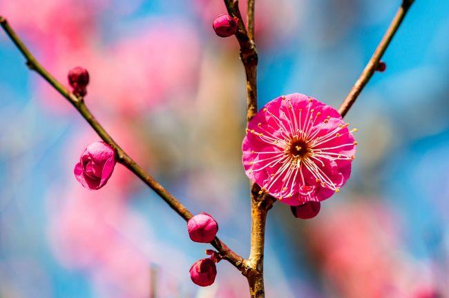長引く暖冬の影響で植物の花芽に予想以上の変化が生まれそうです。<br /> 一般的にバラ科の植物は強い寒気に当たらないと花芽分化が進まないといわれていますが、河津桜など寒緋系の桜は蕾が<br />かなり膨らんでおり、早い開花が予想されます。一方、ソメイヨシノは果たしてどうなるのか興味深いところです。<br /> 同様に多くの花が春が来たと勘違いして早く咲きそうだといわれていますが、別府の南立石公園へ行ってみると、すでに梅が咲き始めています。今年は情報を集めながら、できるだけ自分の足でひとつずつ確認する必要がありそうです。