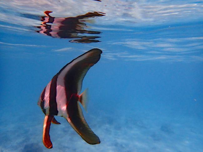 大好きな沖縄、特に離島が好きで慶良間諸島に行く事が多いです。<br />その中でも渡嘉敷島は沖縄本島からも行き易く、海が綺麗で自然に<br />ウミガメが泳ぐビーチもあるお気に入りの島です。<br /><br />明日は帰る日、心ゆくまでシュノーケリングです。