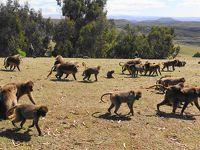 2020新春エチオピアその5〜シミエン国立公園でゲダラヒヒと戯れる