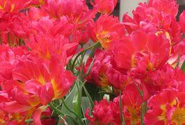 2020新年、大須巡り(5/5):1月16日(5):庭園フラリエ、アイスチューリップ、オレンジプリンセス、ピンクツイスト