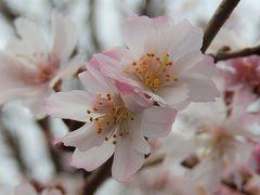 美しかった十月桜