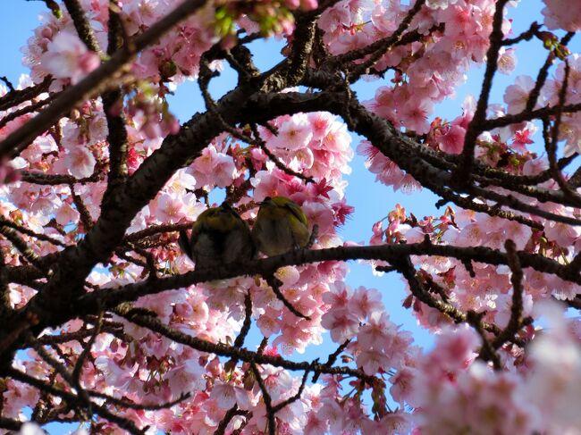 あたみ桜が咲く、早春の熱海温泉へ (2日目)アカオハーブ&ローズガーデン、来宮神社、起雲閣