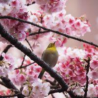 日本一早咲きの「あたみ桜」@第10回糸川桜まつり