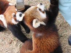 天王寺と福知山レッサーパンダ詣2020(5)福知山市動物園:赤ちゃん令明くんずっとハイテンションでリンゴタイムあり1日ずっとレッサーパンダ