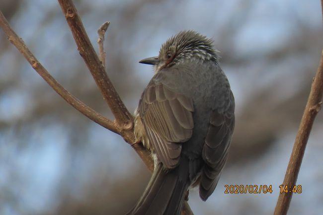 2月4日、午後2時過ぎに川越市の森のさんぽ道へ行き、バードウォッチングをしました。 今まで見られた場所に行き鳥を探しましたところ、ヒヨドリ、ムクドリ、ツグミを見ることができました。 メジロが以前に見られた農家の庭に行き二度目の訪問でメジロが見られました。 同時にスズメも見られました。 違った場所の高い樹木では名前がわからないシジュウカラに似た鳥が見られました。 更にメジロが見られた農家の庭付近にはヒヨドリに似ていますが名前がわからない鳥が見られました。<br /><br /><br /><br />*写真はヒヨドリ