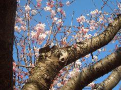青空の下で輝いていた冬桜