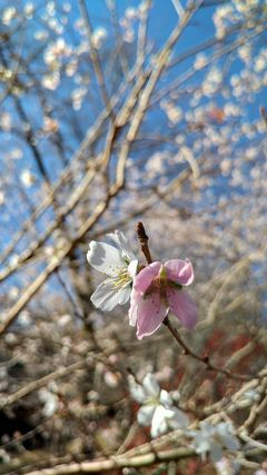 初冬に咲く四季桜の里へ