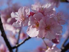20200208-3 築地 ターレットさんでいつもの → 東京国税局近くの河津桜