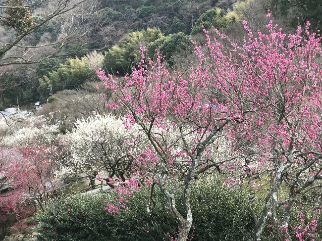 熱海の梅園と熱海桜を見るために糸井川沿いを散歩