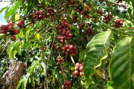 カンボジア&ラオス&タイ旅行12 ラオス南部編 コーヒーの産地・ボーロベン高原