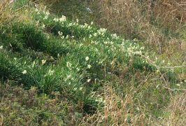 2020新春、天白川河畔の散策(2/3):2月3日(2):天白川、コサギ、水仙、ヨモギ、咲き残りの秋薔薇