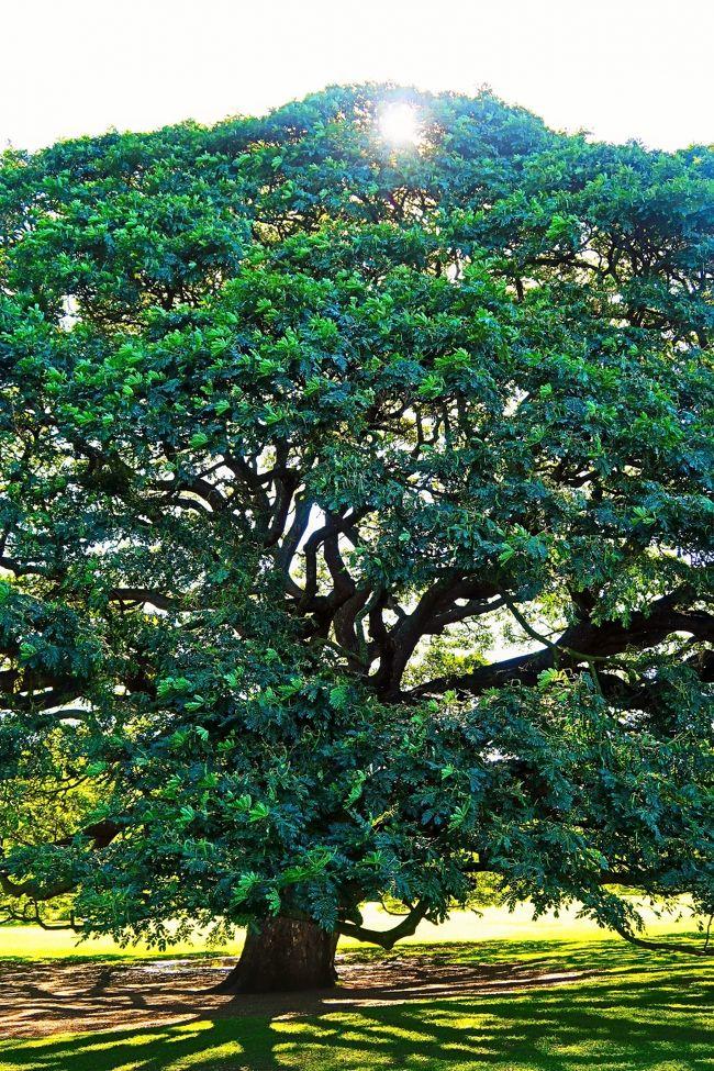 モアナルア・ガーデン(Moanalua Gardens)は、24エーカー(97,000平方メートル)の広さをもつ私有の公園。ハワイ州ホノルル市モアナルア地区の州間高速道路H201号線沿い、トリプラー陸軍病院の近くに位置する。かつては地元の実業家で地主であったサミュエル・ミルズ・デイモンの保有する地所であったが、現在ではデイモンの曾孫が経営するカイマナ・ベンチャー社の所有地となっている。 <br />この公園は、のちのカメハメハ5世となるロット王子が暮らしたコテージの所在地として知られている。恒例行事であるプリンスロット・フラ・フェスティバルの会場でもあり、日本では「日立の樹」として有名なモンキーポッドの大木の生育地としても有名である。<br />(フリー百科事典『ウィキペディア(Wikipedia)』より引用)<br /><br />「日立の樹」があるモアナルア・ガーデンは、アメリカ合衆国ハワイ州オアフ島のワイキキから車で30分ほどの地にあります。地元の人々にとっての憩いの場として、また、観光スポットとして、多くの人々に親しまれています。園内には、ハワイ原産に限らず、さまざまな植物が世界中から集められており、モンキーポッドも、そのひとつです。<br />https://www.hitachinoki.net/access/garden.html  より引用<br />モンキーポッドは、熱帯アメリカ原産のマメ科ネムノキ亜科ネムノキ属の常緑高木。別名、レインツリー、アメリカネムノキ。 <br />https://www.hitachinoki.net/profile/prof.html<br /><br />モアナルア・ガーデン については・・<br />https://travel-star.jp/posts/5198<br /><br /> オアフ島(英語:Oahu)は、ハワイ諸島のうちの一つの島であり、3番目に大きい島である。ハワイ州ホノルル郡に属し、州都ホノルル市がある。愛称は集いの島(The Gathering Place)。 <br />総面積は国後島とほぼ同じ1,545.3km2で、沖縄本島と韓国済州島の中間ほどの大きさである。最大部で島の長さは約71km(44マイル)、幅は約48km(30マイル)である。海岸線の長さは180km(112マイル)である。 <br />(フリー百科事典『ウィキペディア(Wikipedia)』より引用)<br /><br />ANA A380で行くハワイ6日間♪【オアフ島周遊プラン】 <br /><マリオットプラン> トラピックス  <br />1月24日(金) 2日目<br />08:00頃 ホテル発。≪オアフ島周遊ツアー≫。(14時間)<br />・ダイアモンドヘッド  (車窓) ・ハナウマ湾展望台  (下車)<br />・モアナルア・ガーデン (入場)・ドール・プランテーション(下車)<br />・ハレイワタウン (下車) ・サンセット・ビーチ (車窓) <br />・ポリネシア・カルチャーセンターを見学 (入場観光)<br />夕食後、イブニングショー「ハァ・ブレス・オブ・ライフ」<br />22:30頃 ホテル着。<br />【宿泊地:ホノルル泊】ワイキキビーチ マリオット リゾート&スパ<br />https://www.marriott.co.jp/hotels/travel/hnlmc-waikiki-beach-marriott-resort-and-spa/