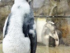 2020年もアドベンチャーワールドで3ヶ月ぶり(4)ペンギン特集:換毛中のペンギンたちに爆笑!~エンペラーペンギンの赤ちゃん昭和の水着姿@