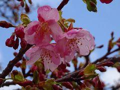 笹原公園近くのミモザを見せて貰いに行きましたが、まだ咲いていなかった その2。