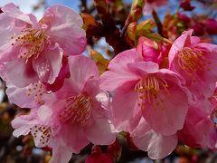 笹原公園近くのミモザを見せて貰いに行きましたが、まだ咲いていなかった その4完。