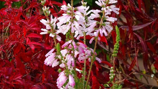 その2からの続きです。<br /><br />伊丹市バスの時間が合わずに、昆陽南公園に向けて歩いている途中からです。<br /><br />写真は、エリカの花・・・ネットで調べて初めて知りました。