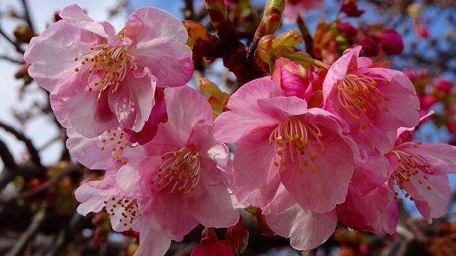 その3からの続きです。<br /><br />写真は、昆陽南公園で開花した河津桜。