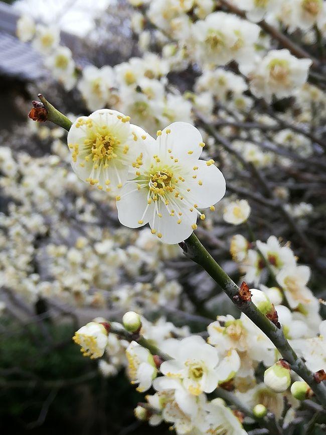 道明寺天満宮で開催されるイベントで、梅酒(か、梅シロップ)のワークショップへ行ってきました。<br /><br />梅の花のほうは5分咲きほどで、今週には7分咲きになる予想です。<br /><br />そして道明寺天満宮には猿回しがやってくるんですよー。<br />
