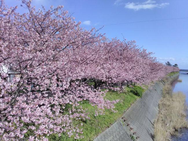 2020年の初旅は、伊豆の河津に桜を見に行きました。<br />2月9日日曜の朝、京都は雪が降っていたので心配したのですが、名古屋あたりから晴れて来て熱海に着いた時はいいお天気でした。<br />熱海からは伊豆クレイルという観光電車に乗って河津まで。<br />車窓から見える伊豆の海に、ちょっぴり春を感じる旅でした。