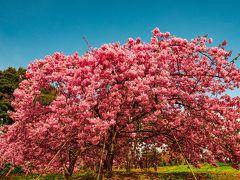 豊前の河津桜 2020