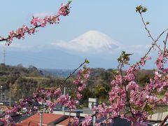 三浦海岸の河津桜と富士山