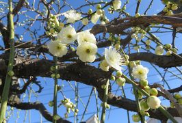 2020新春、ちらほら咲いた枝垂れ梅(1/5):1月31日(1):名古屋市農業センター(1):街路樹、プリムラ、水仙