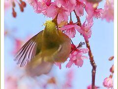 Solitary Journey[2020]春はもうすぐそこ♪濃いピンク色をした河津桜に群がるメジロたちと水仙<上蒲刈島県民の浜>広島県呉市