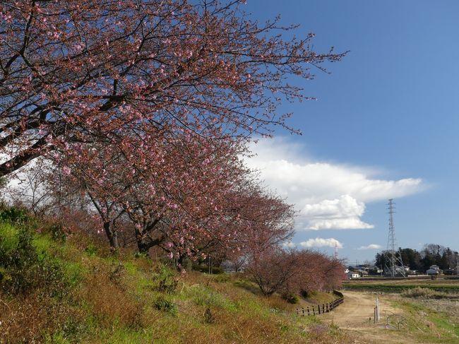 深谷市(旧 岡部地区)の「榛の森公園」へ、河津桜を見に行きました。周辺地域の河津桜よりも早く咲く場所とのことですが、この日(2月18日)は、咲き始めでした。蕾の多くは、今にも咲きそうな状態なので、近いうちに満開の河津桜を楽しめると思います。<br /><br />旅行記作成に際しては、深谷市および榛の森公園のホームページ、「GOいせさき」など関連するネット記事を参考にしました。