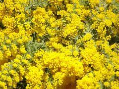 豊中市少路の羽鷹池近くに咲く、ミモザの花を見に行きました 下巻。