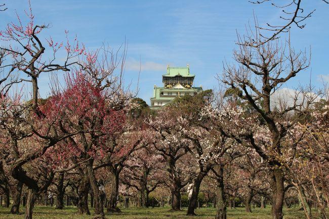 大阪城公園の梅林は関西屈指の梅の名所です。<br />JR大阪城公園駅やJR森ノ宮駅からも近く、公園内にあり自由に散策できます。<br />早咲きや遅咲きなど100品種以上、約1,270本植えられ、1月下旬~3月中旬頃までが見頃です。<br />品種が多いので、長期間に亘って様々な梅を楽しめるのが特徴です。<br />たくさんの梅が満開を迎えるのは2月下旬から3月上旬です。<br />3月中旬になると梅林だけでなく、北外堀にある桃園でも桃が咲き始め、梅と桃の両方を楽しむことができます。