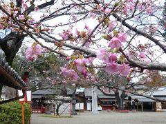 「世良田東照宮」の河津桜_2020_蕾が開き始めました。(群馬県・太田市)