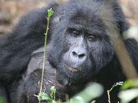 ウガンダ・ルワンダ マウンテンゴリラとナイルの源流 ⑤シルバーバックは木登り上手  ずっこけそうな陸路の国境越え
