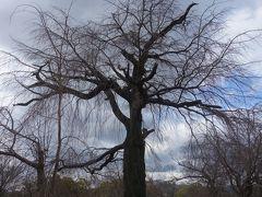 円山公園を散策。桜がまちどおしい。