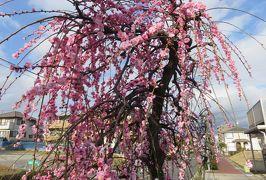 2020新春、蕾から七分咲の枝垂れ梅(1/7):2月18日(1):名古屋市農業センター(1):街路樹、紅梅と白梅枝垂れ
