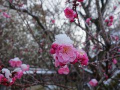 ピンクの梅の花が白い雪の帽子をかぶっていました。梅宮大社の梅がうっすら雪化粧。