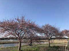 花を求めて⑯ 河津桜