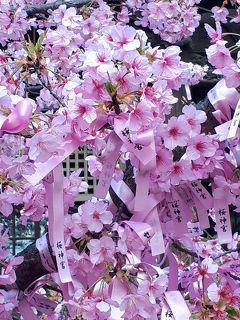 東京の河津桜 桜神宮