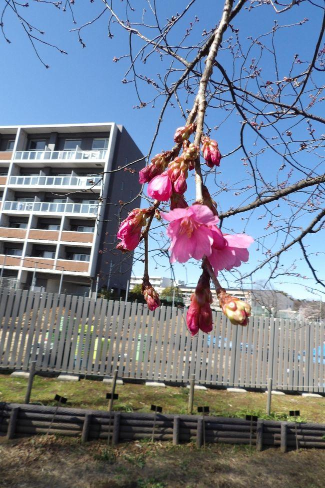 日比谷花壇大船フラワーセンターには大寒桜(おおかんざくら)と大寒桜の実生(みしょう)の桜の木がそれぞれ1本づつ植えられており、看板が立てられている。それを見て、実生が「みしょう」と読むことを初めて知った。平成23年(2011年)以来、Webで調べて「実生」を使って来ているが、ふりがなが付いていることは一度もなかった。しかし、こうした園芸や植物分野では「実生」を「みしょう」と読むことは常識であるという。一般の日本人が正しくは読めない漢字「実生」にかなを振るべきであると思うが、振らないことには呆れてしまった。<br /> その大寒桜の実生には濃いピンクの花が咲き出しており、一方、大寒桜には非常に薄いピンクの花が咲いている。大寒桜の実生の看板には「花色が濃紅色になることから大寒桜の形質が入っているのがよくわかります。」とある。この看板の内容が全く理解できない。<br /> そういえば、伊豆・土肥桜(https://4travel.jp/travelogue/10414394)にもこうした2種類の花の形状や花色のものがあり、名前で区別をしていない。<br /> おおらかというか、いい加減なものだ。桜の花も年毎に違いが大きいというのか?<br />(表紙写真は大寒桜の実生(みしょう))