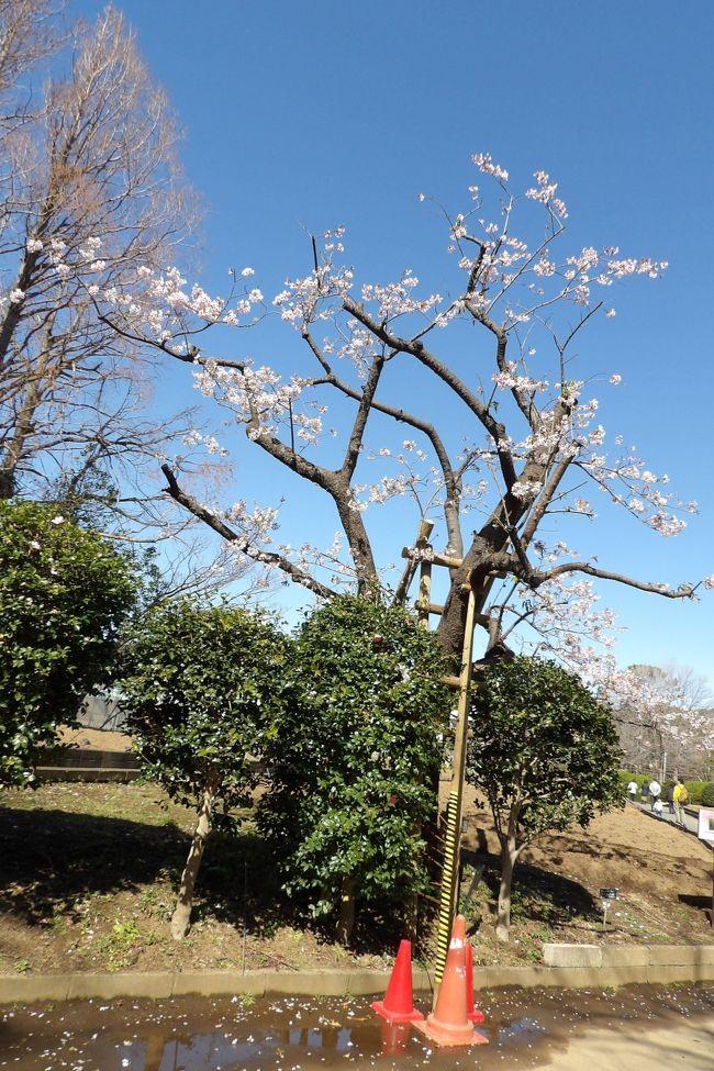 日比谷花壇大船フラワーセンターで玉縄桜を眺めていると、桜好きの女性が来て、「玉縄桜は綺麗ではない桜」というと同意してくれ、「残念な桜」と呼んだ。なるほど。早咲きの桜ということでは有名な河津桜と同じ時期に開花するのであるが、艶(つや)のない染井吉野よりも白っぽく桜色が乏しい玉縄桜は残念な桜花である。<br /> それ以上に、その前に品濃桜(https://4travel.jp/travelogue/11602971)が存在していたにも拘わらず、そうした前例を何も調査せずに玉縄桜を品種登録している。県税の無駄使い(https://4travel.jp/travelogue/10988696)である。<br /> さらに、桜に付ける名前としては傍を流れる柏尾川に因んだ「柏尾桜」が最初に上がったが、「答え一発、…。」の電卓CMが全国的に知られており、「柏尾桜」の案は消え去った。桜の名前には地名やその特徴が付けられるのが普通であるから、川の名前を採った「柏尾桜」では川の上流域に横浜市戸塚区柏尾町・上柏尾町があるためにこの地名の場所が発生地と間違われてしまったであろう。この玉縄桜の開発に携わった人たちのレベルの低さも「残念な桜」の要因である。<br /> また、江戸時代初期までは玉縄城があったが、元和の一国一城令で元和5年(1619年)に廃城となっている。玉縄村の村名も明治以降の町村合併で消滅し、玉縄の地名は無くなっていた。しかし、玉縄桜の開発が始まる(昭和44年(1969年))より前の昭和40年(1965年)頃に玉縄1~5の町名が新に生まれている。<br /> では「大船桜」はと言うと、大船は柏尾川左岸にある町名であり、大船フラワーセンターは柏尾川右岸にある。「大船桜」は当事者には受け入れられなかったのであろう。<br /> ところで、「鎌倉」を冠する名前はといえば、江戸時代以前から八重桜や八重一重咲分け桜(御車返し)が鎌倉にある桐ヶ谷の字名で呼ばれている。したがって、見すぼらしい玉縄桜に「鎌倉」を冠することは避けられたのであろう。<br /> さらに残念なことに、昨年の台風15号で玉縄桜の原木は「根元から折れてしまい」、多くの枝を払って復活することが期待されている。今年はその原木に花が咲いている。しかし、枯れてしまうかも知れない。<br /> さらに、残念なことがある。玉縄桜は知名度がなく、人気もない。河津桜で集客に成功している伊豆・河津町や県内の松田町、三浦海岸などがある。そのために、玉縄桜の桜並木を造っても、集客は望めないだろう。そのことはここ大船フラワーセンターの運営が神奈川県から日比谷花壇に移って、表面化してきているようだ。ここ大船フラワーセンターには花を付けた河津桜の苗が1ダースほど植樹を待っている。植物園では桜の木の移植には失敗しないであろうから、数年後にはここ大船フラワーセンターでは早咲きの桜といえば、玉縄桜よりも河津桜の本数が多くなっているであろう。<br /> 残念な桜・玉縄桜は最初から残念な経緯を辿り、遂には早咲きの桜としては消滅してしまう可能性も出てきているのだ。<br />(表紙写真は玉縄桜の原木)